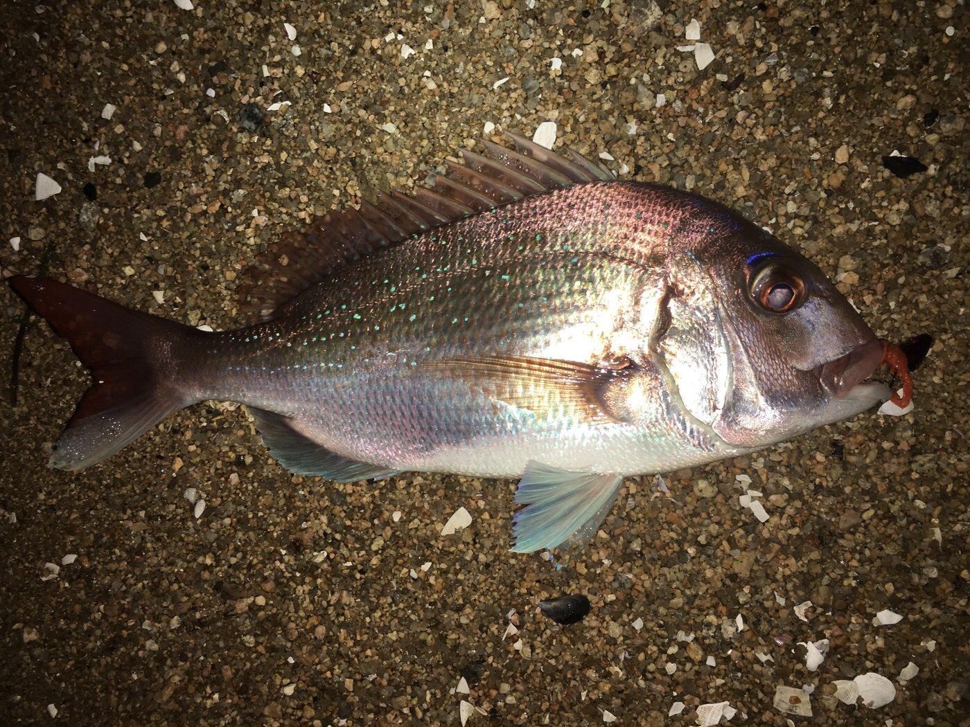 やすさんの投稿画像,写っている魚はマダイ