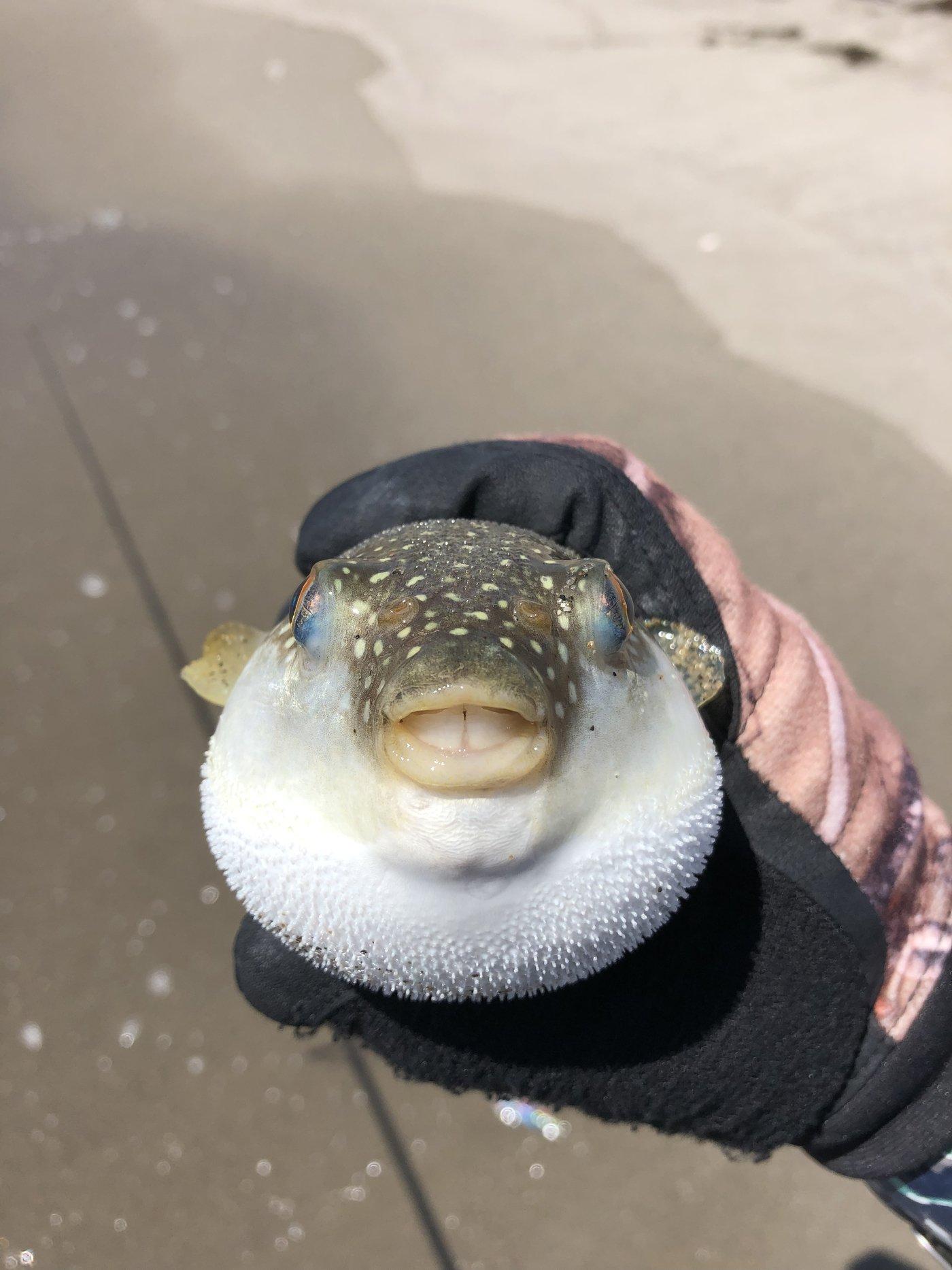 カピバラ先生さんの投稿画像,写っている魚はフグ