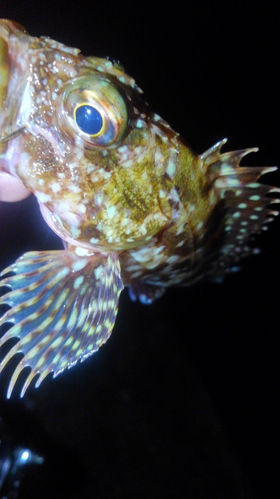 KRO さんの投稿画像,写っている魚はカサゴ