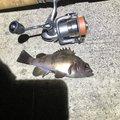 タカヤマさんの兵庫県神戸市でのメバルの釣果写真