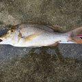みーばいはんたーさんの沖縄県宜野湾市での釣果写真