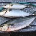 katsumi-kさんの三重県志摩市での釣果写真