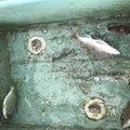 BK翔さんのオキヒイラギの釣果写真