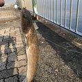 かめさんさんの福井県での釣果写真
