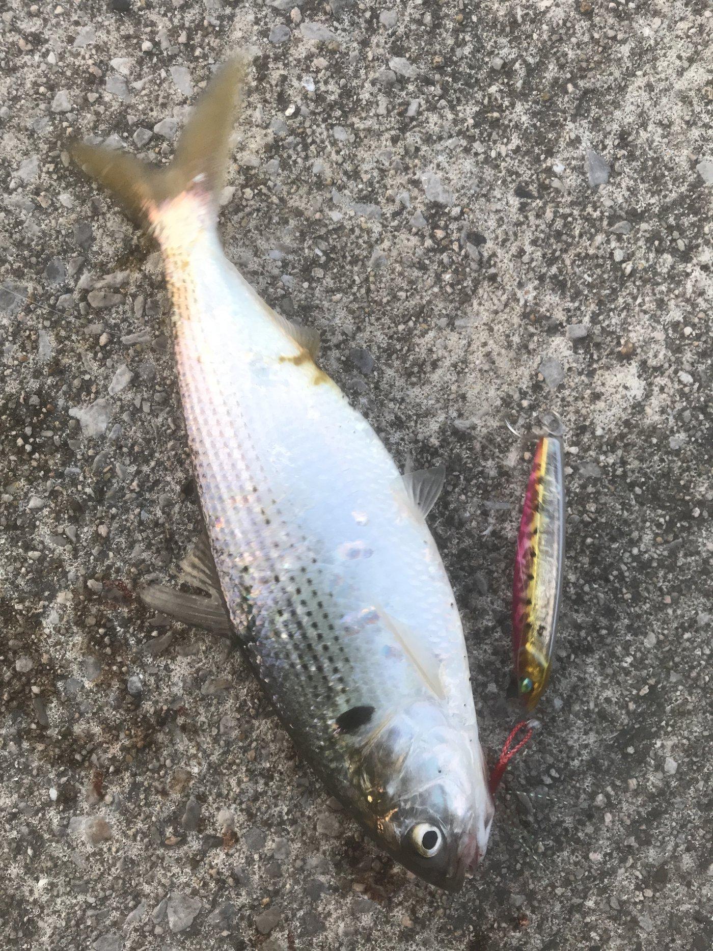 鬼ころしさんの投稿画像,写っている魚はコノシロ