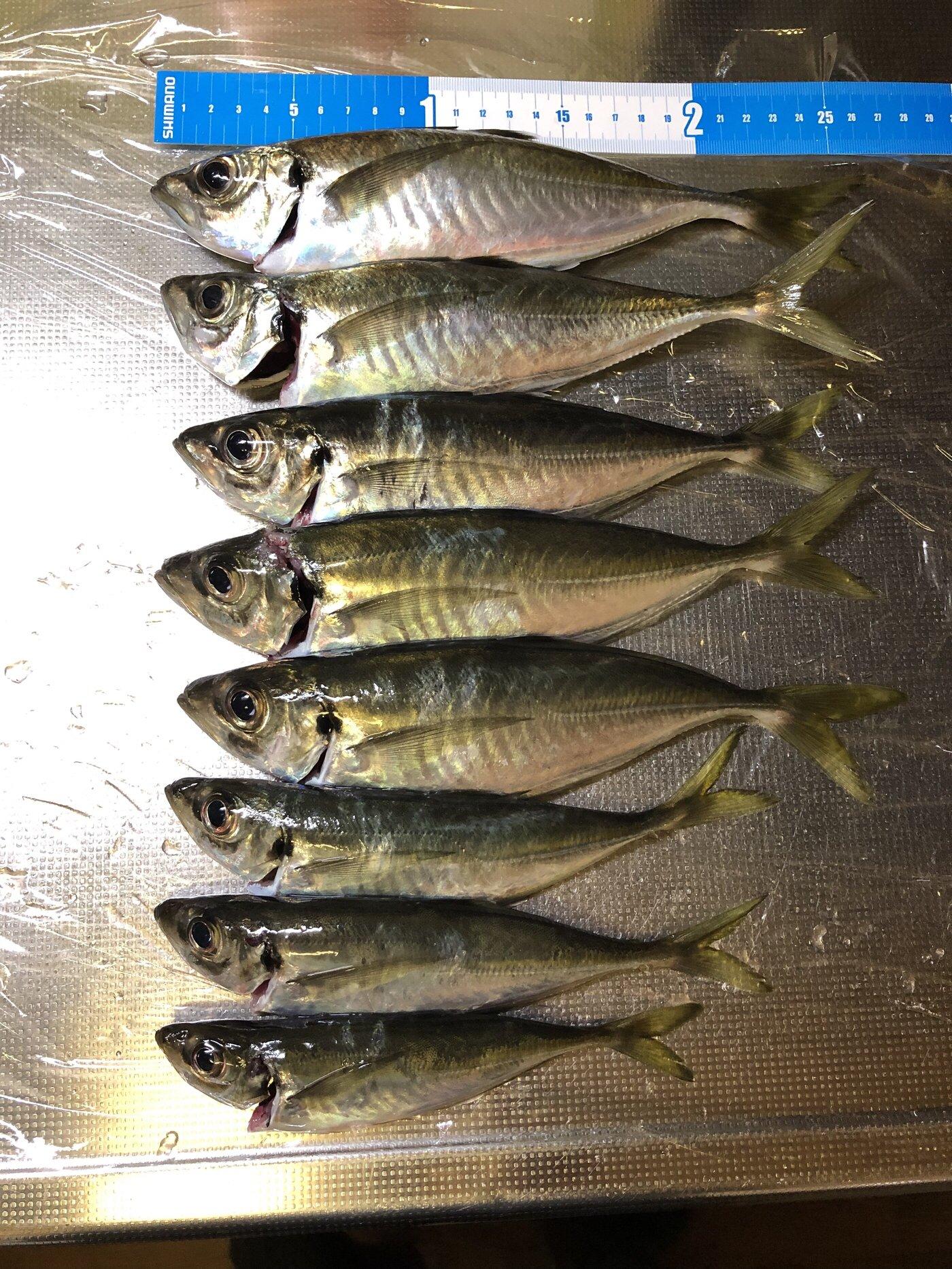 シャクラーMさんの投稿画像,写っている魚はアジ