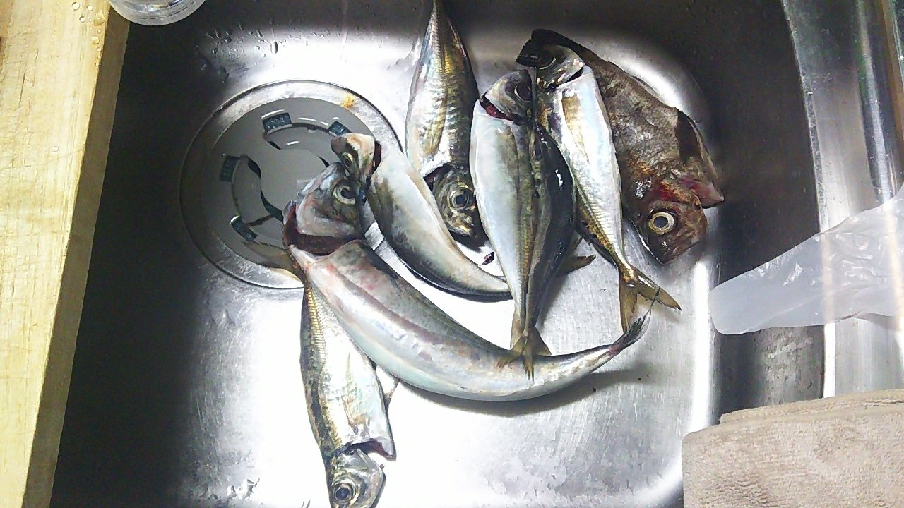 たーくんさんの投稿画像,写っている魚はメバル,マサバ,アジ