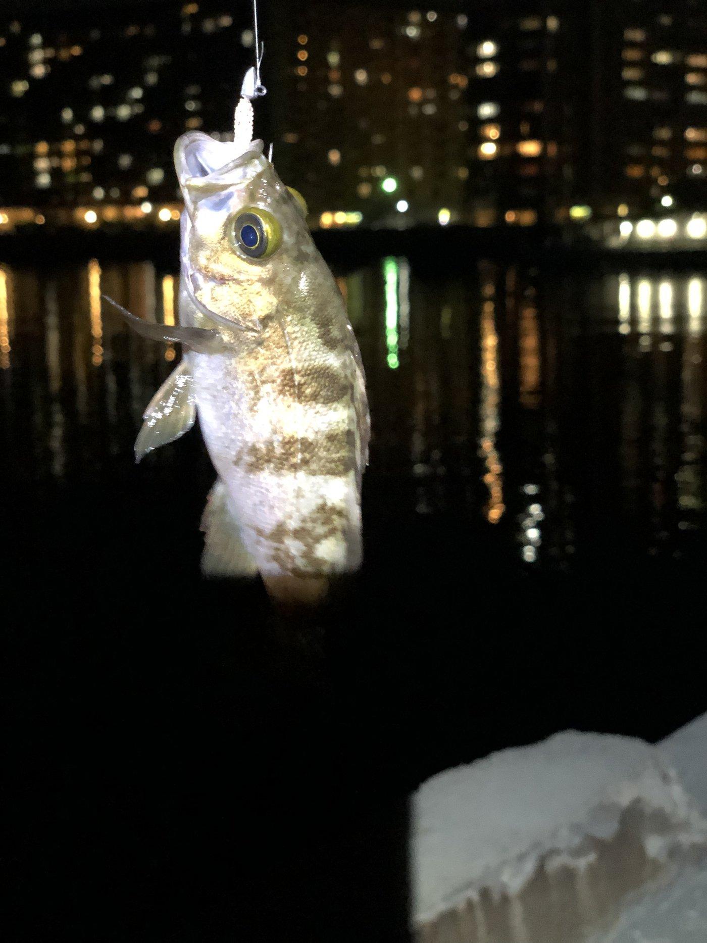 つぶあんさんの投稿画像,写っている魚はシロメバル