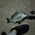 Shunさんの徳島県での釣果写真