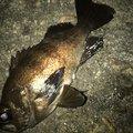 カッキーさんの富山県射水市でのメバルの釣果写真
