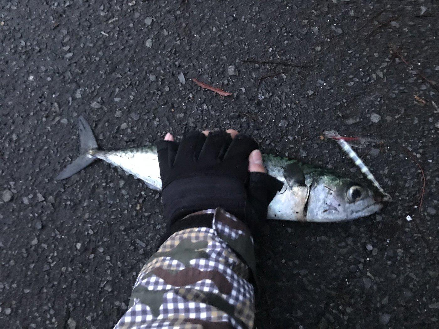 ちゃちゃさんの投稿画像,写っている魚はマサバ
