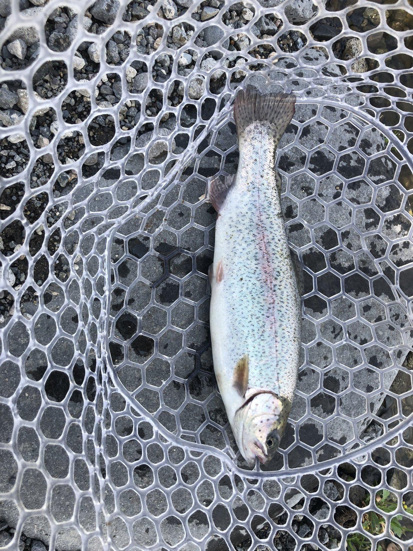 グッさんさんの投稿画像,写っている魚はニジマス
