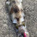 ノリさんの京都府京丹後市でのアオリイカの釣果写真