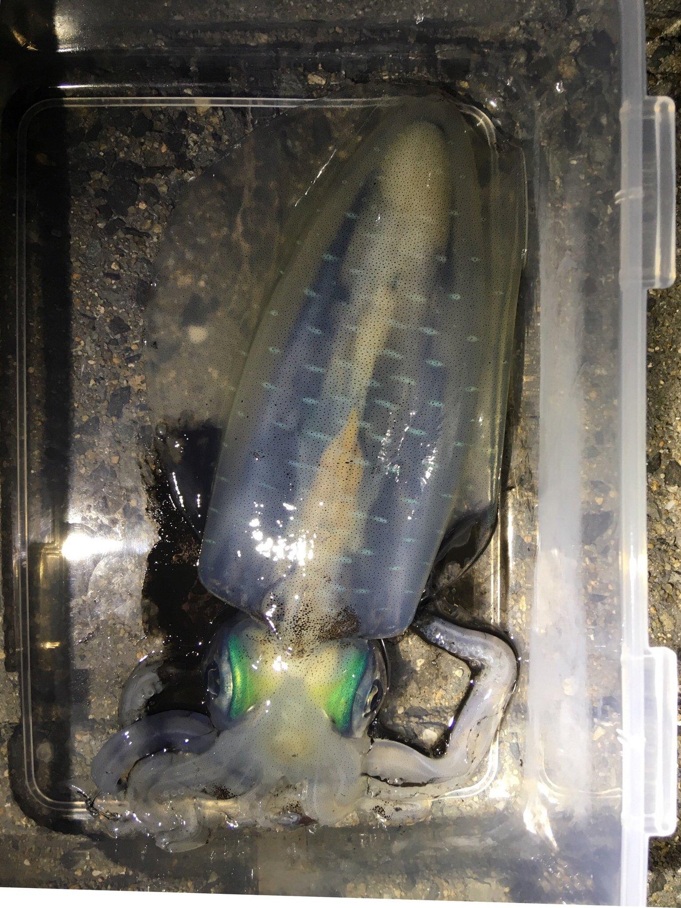 えぎるさんの投稿画像,写っている魚はアオリイカ
