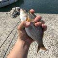コウスケさんのウミタナゴの釣果写真