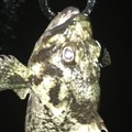 ちゃーりんさんの山口県周南市でのムラソイの釣果写真