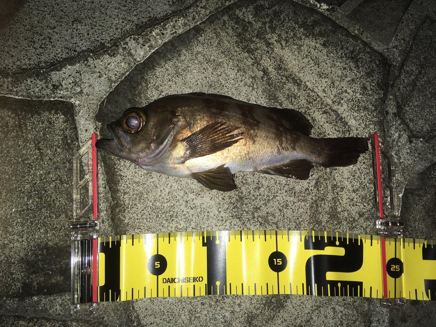 sunegeiiii!さんの投稿画像,写っている魚はメバル