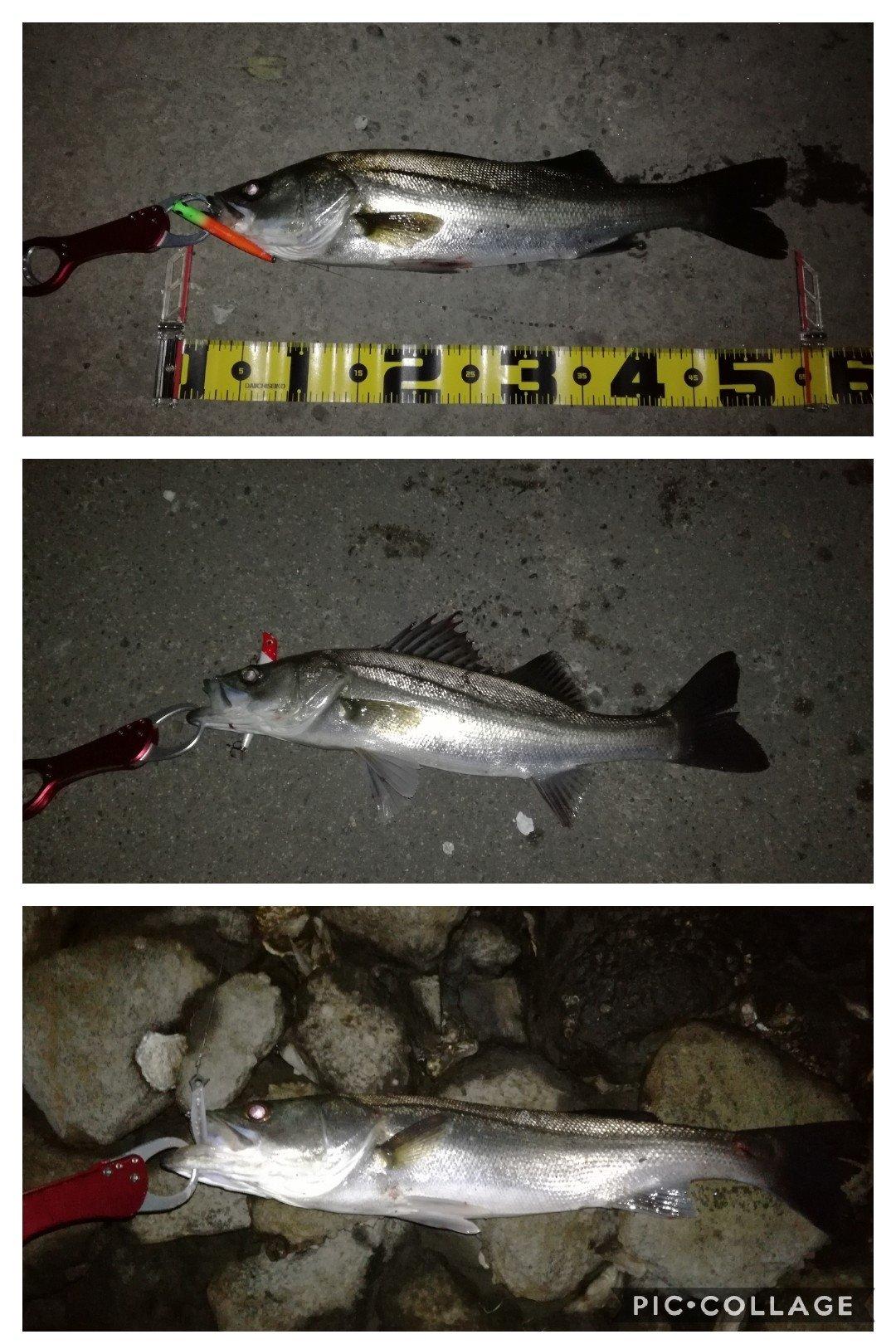 スギぼうずさんの投稿画像,写っている魚はスズキ