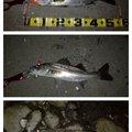 スギぼうずさんの千葉県船橋市での釣果写真