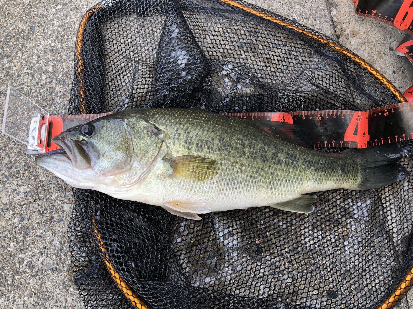 草リグさんの投稿画像,写っている魚はブラックバス