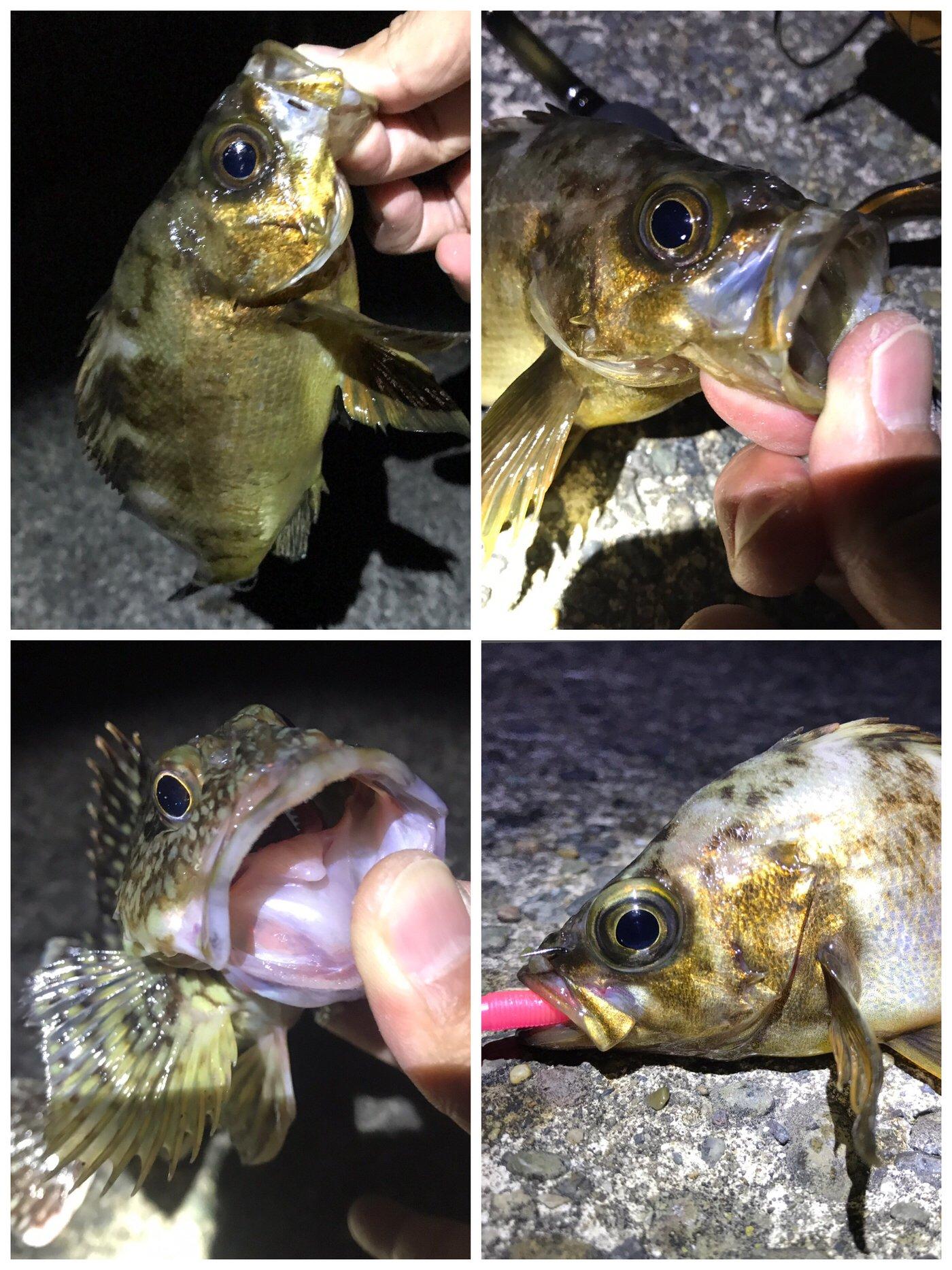SOL Pianomaniaさんの投稿画像,写っている魚はメバル,カサゴ