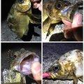 SOL Pianomaniaさんの神奈川県三浦郡でのカサゴの釣果写真
