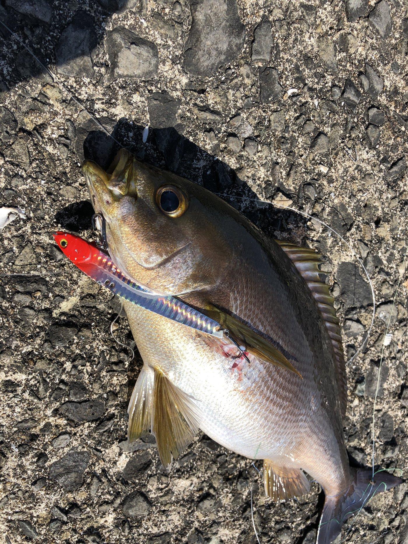 レイルスターさんの投稿画像,写っている魚はイサキ