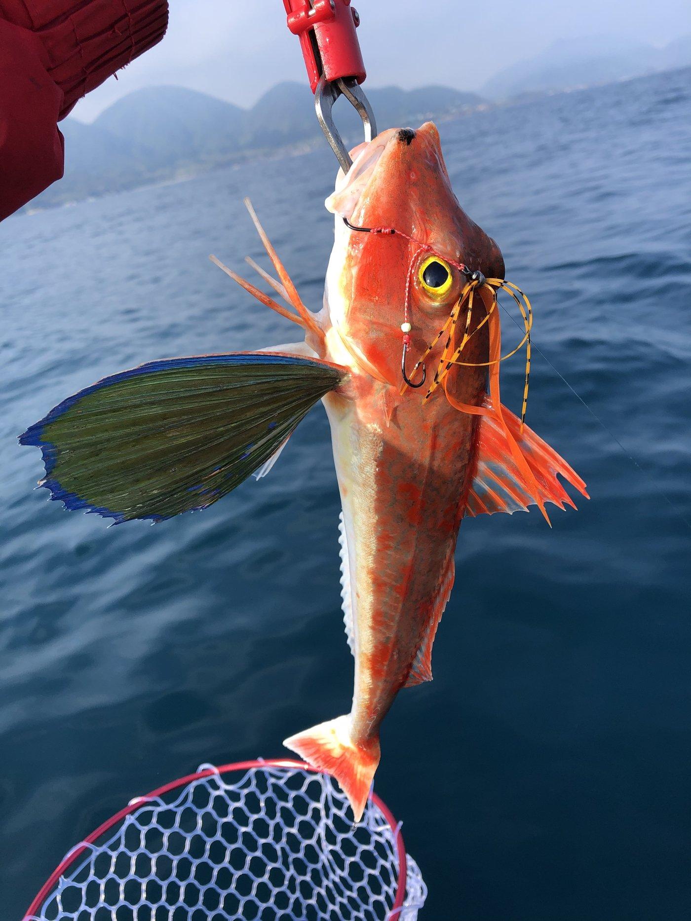 ゆうさんの投稿画像,写っている魚はホウボウ