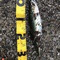 小春ちゃんさんのマサバの釣果写真