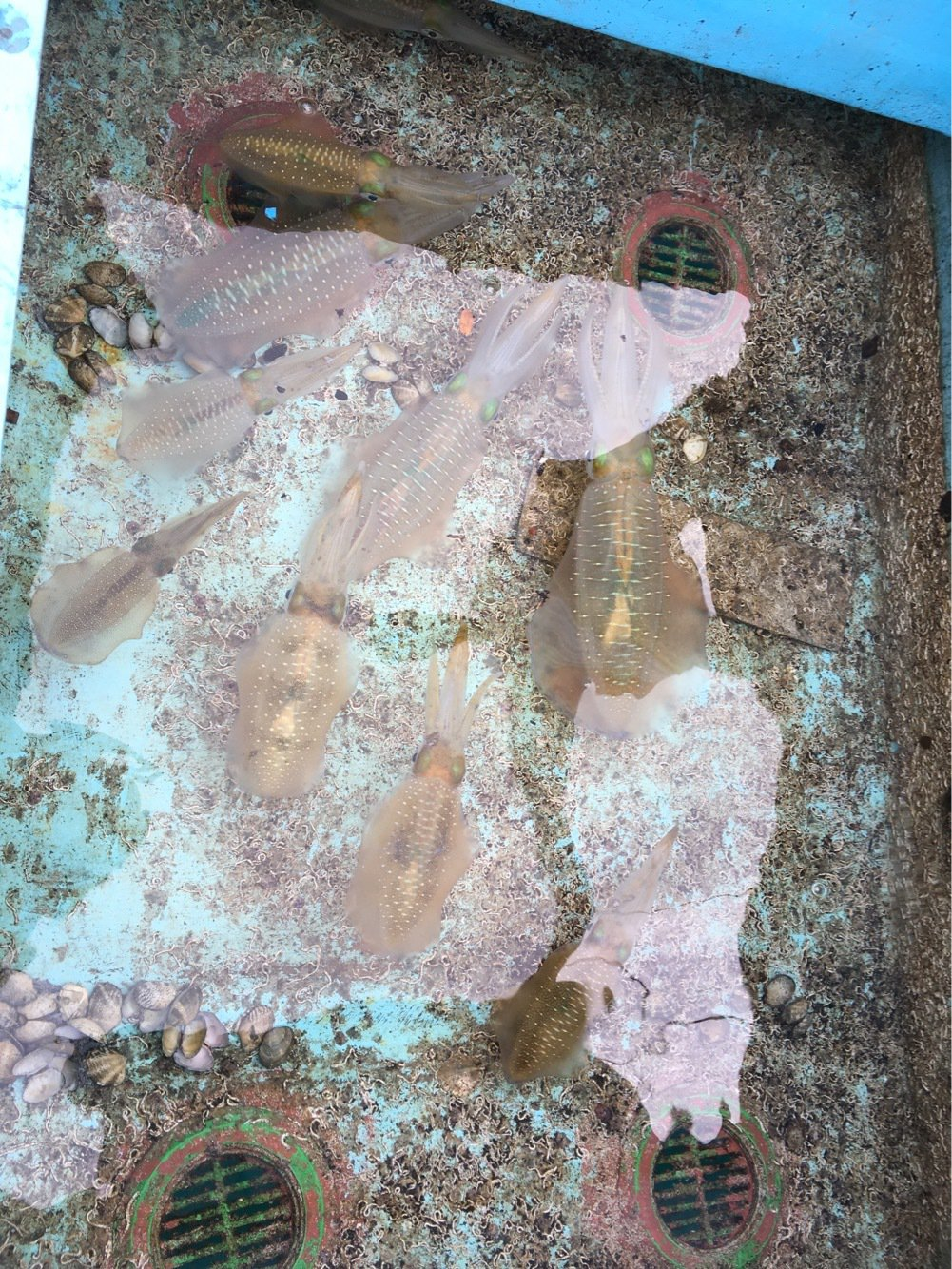 LILYさんの投稿画像,写っている魚はアオリイカ