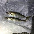 さくらいさんの新潟県新潟市での釣果写真