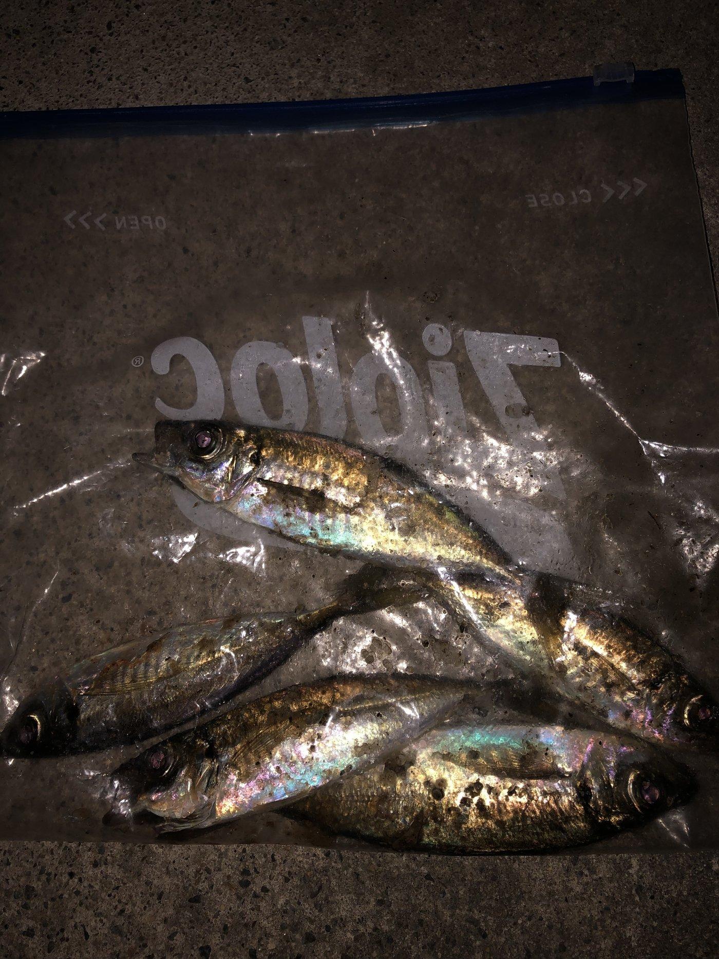 ノリさんの投稿画像,写っている魚はアジ