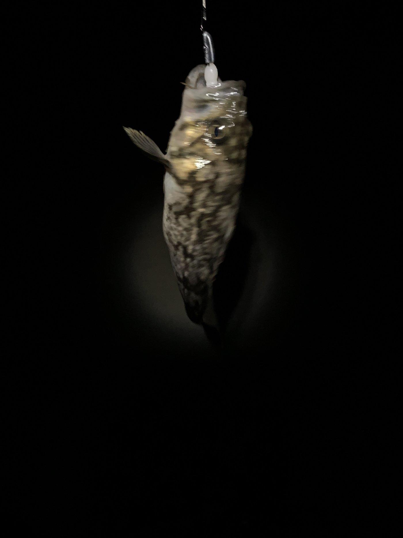 もっき@ゆるふわ子育てブロガーさんの投稿画像,写っている魚はソイ