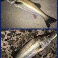 ポニーさんの千葉県でのスズキの釣果写真