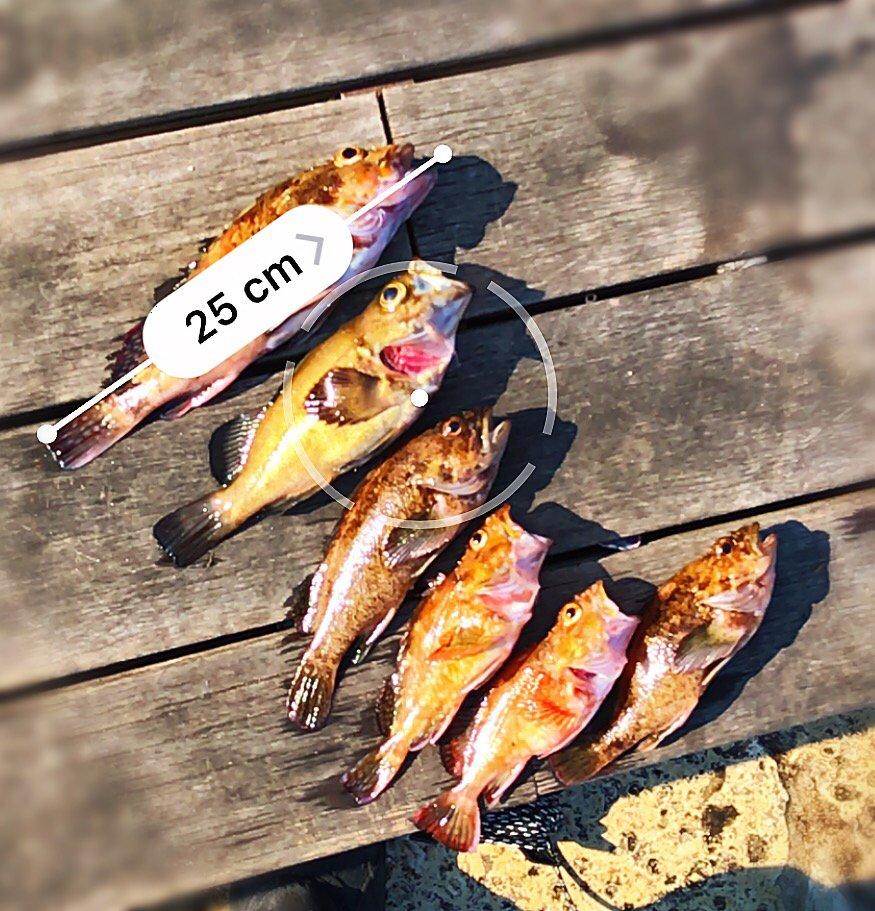 釣り好きドラマーさんの投稿画像,写っている魚はカサゴ