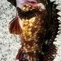 snufkin49さんの兵庫県でのカサゴの釣果写真
