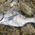 かずくんさんの和歌山県でのクロダイの釣果写真