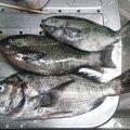 かずくんさんの和歌山県有田市での釣果写真