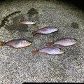 ひとしさんの三重県北牟婁郡での釣果写真