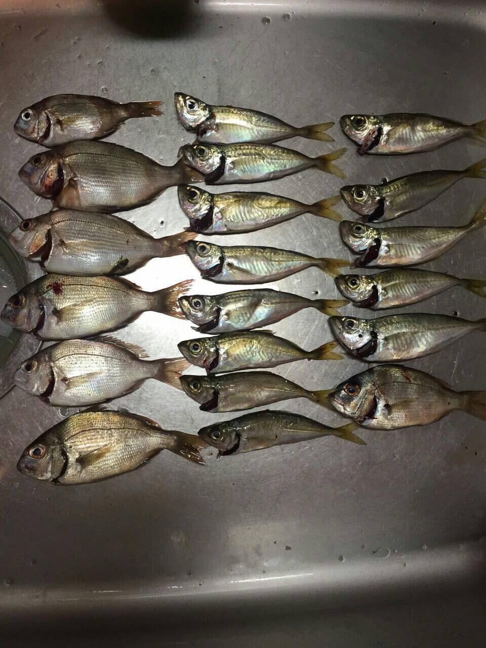 スズさんの投稿画像,写っている魚はアジ