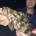 まちゃどさんの香川県でのメバルの釣果写真