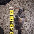 光一さんの北海道でのクロソイの釣果写真
