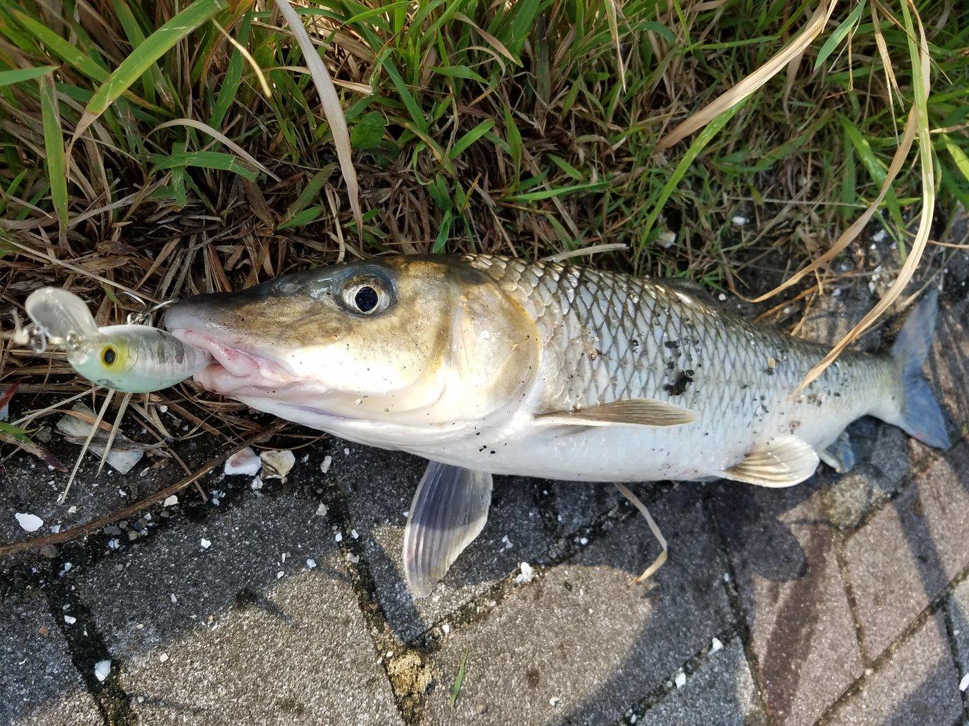 Moshawoさんの投稿画像,写っている魚はニゴイ