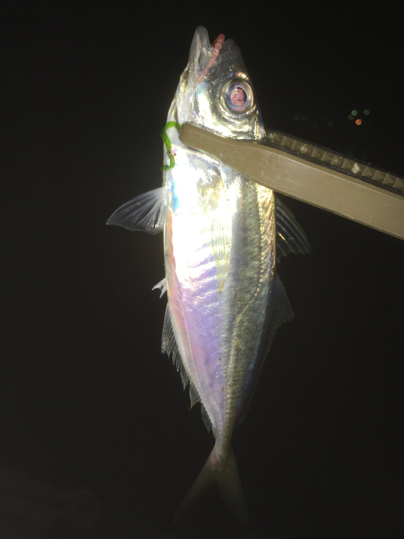 秀栄さんの投稿画像,写っている魚は
