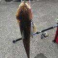 YASUさんのコチの釣果写真