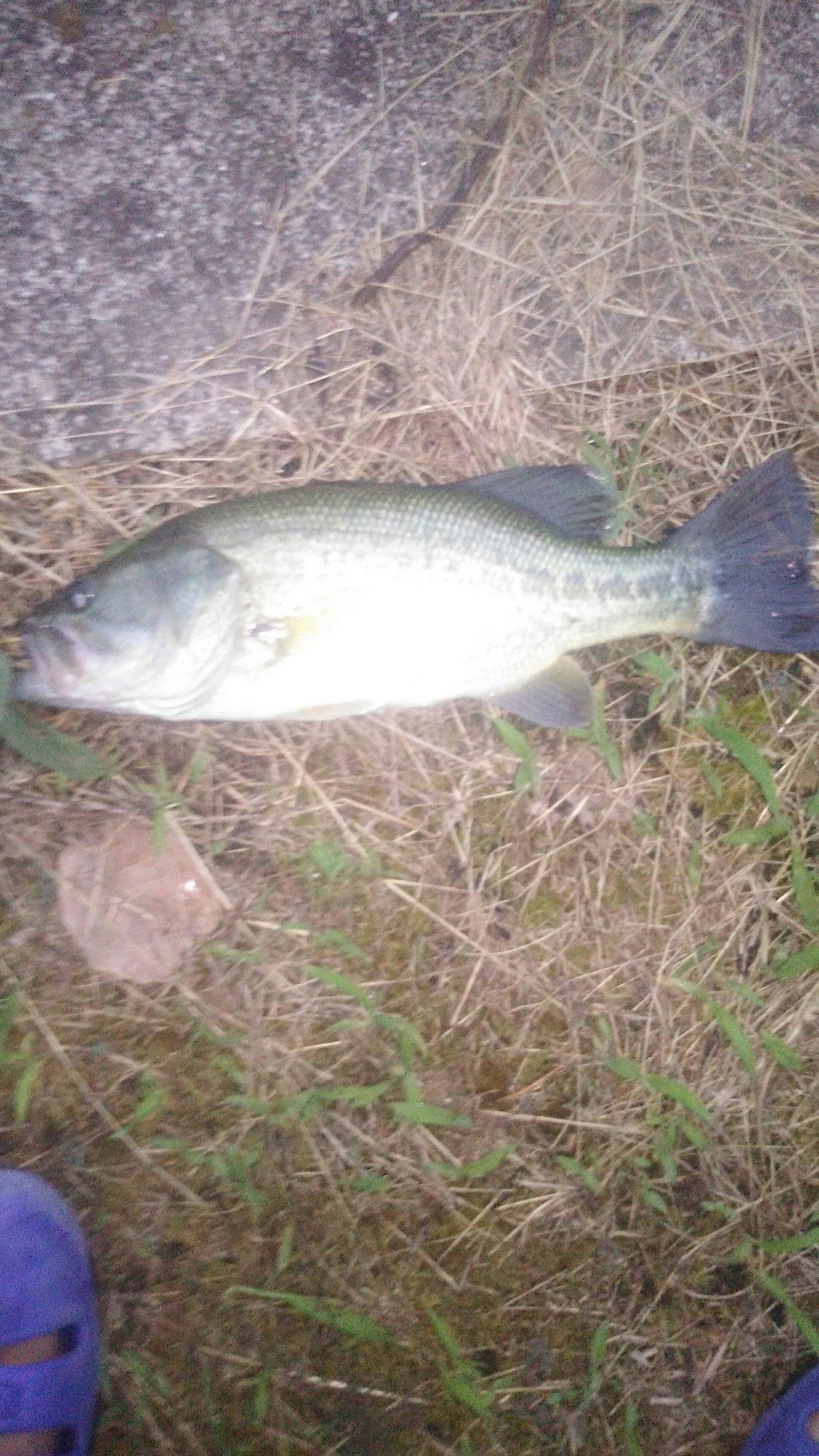 誠也さんの投稿画像,写っている魚はブラックバス