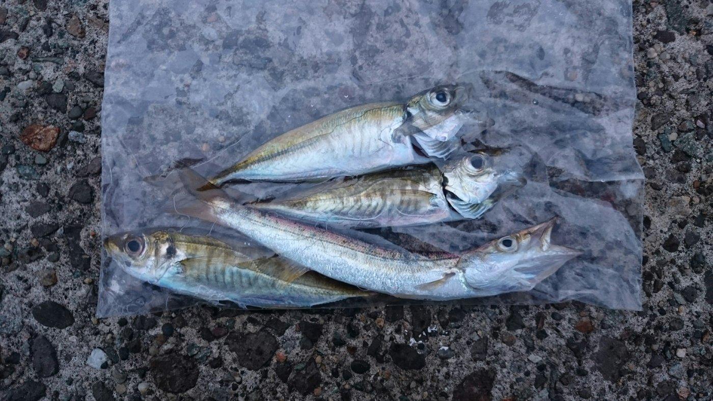 そうたさんの投稿画像,写っている魚はカマス