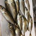 Akihitoさんの大分県別府市での釣果写真