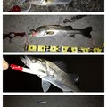 スギぼうずさんの千葉県でのスズキの釣果写真