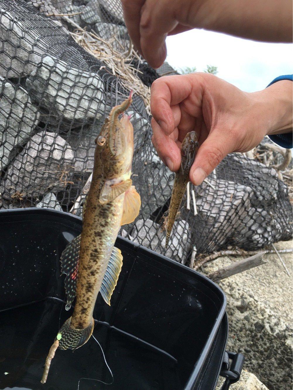 サトウさんの投稿画像,写っている魚はマハゼ